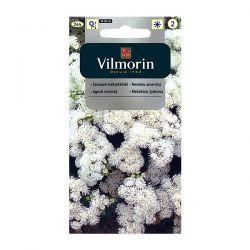 Żeniszek meksykański biały Vilmorin